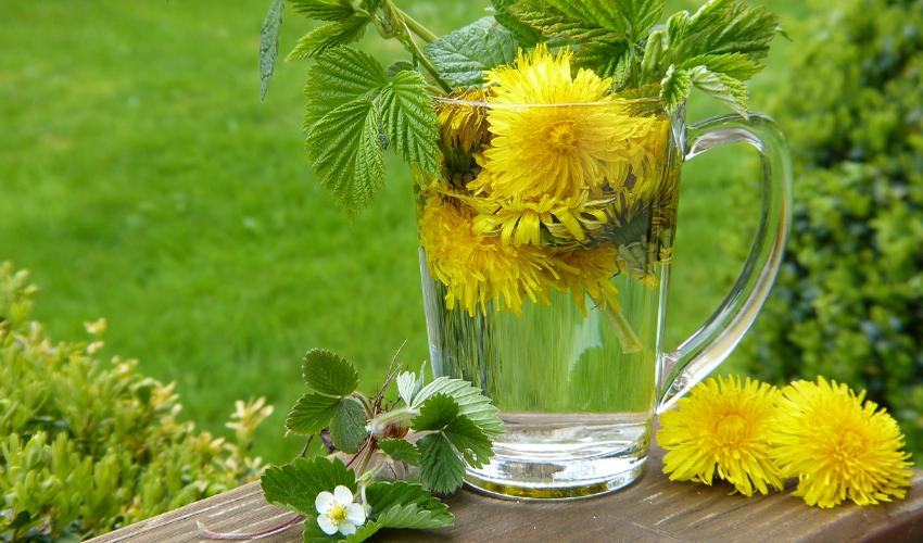 ceai de păpădie pentru retenția de apă